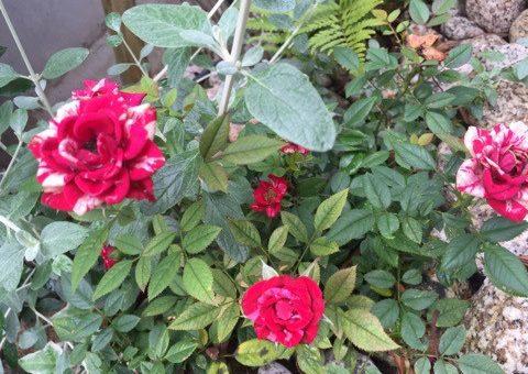 ◆庭の榊が2ヶ月も。